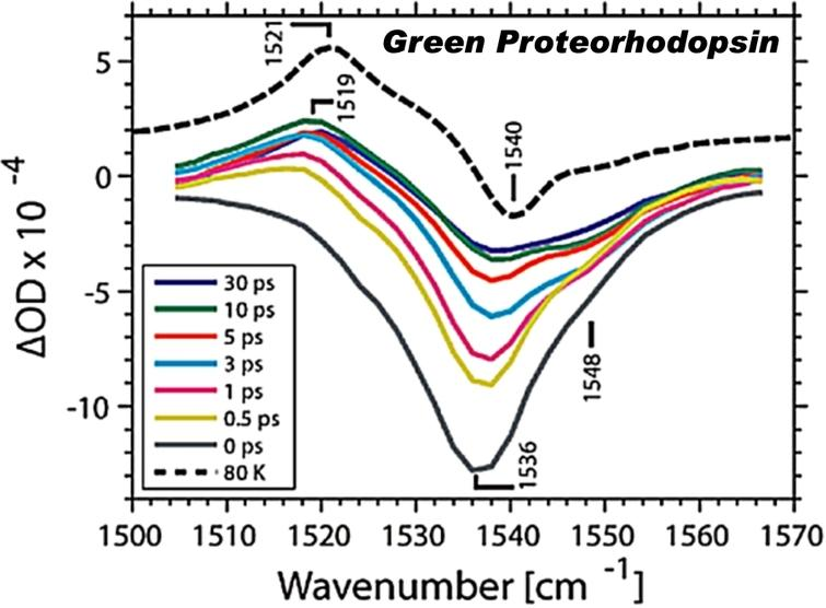 Transient infrared spectrum of unlabeled green proteorhodopsin (GPR) in the ethylenic region after ∼100 nJ 520 nm photoexcitation (adapted [5]; see reference for further details).