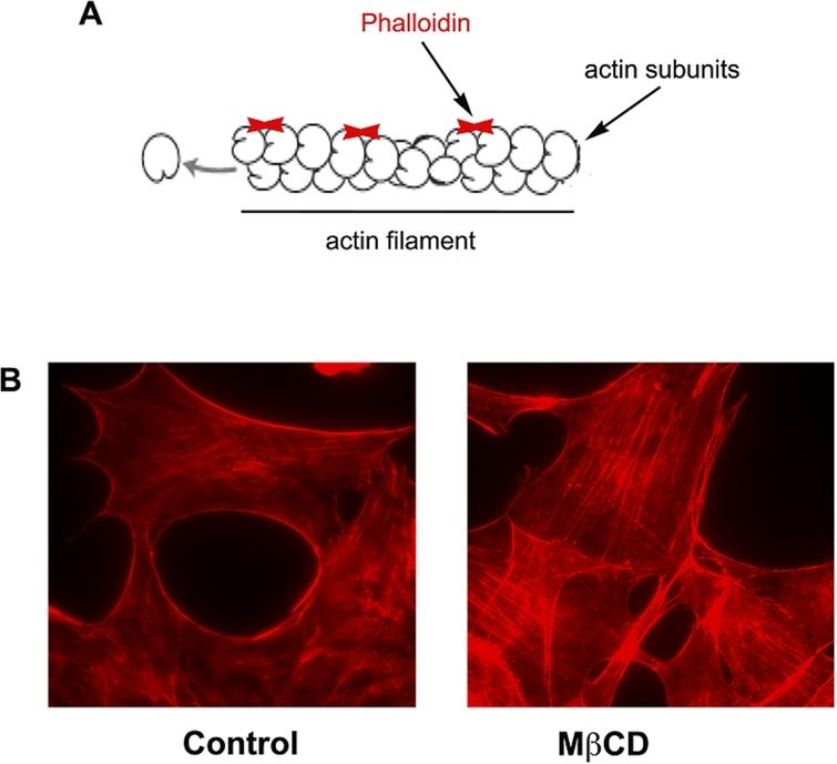 (A) Representative image of actin filaments and the sites of binding of phalloidin. (B) Fluorescence images of mouse embryonic fibroblasts treated or not (control) with MβCD 10mM, fixed with 4% paraphormadehyde and labeled with phalloiding conjugated with Alexa fluor 546 (Invitrogen®). Arrows indicate the actin stress fibers in MβCD treated cells.