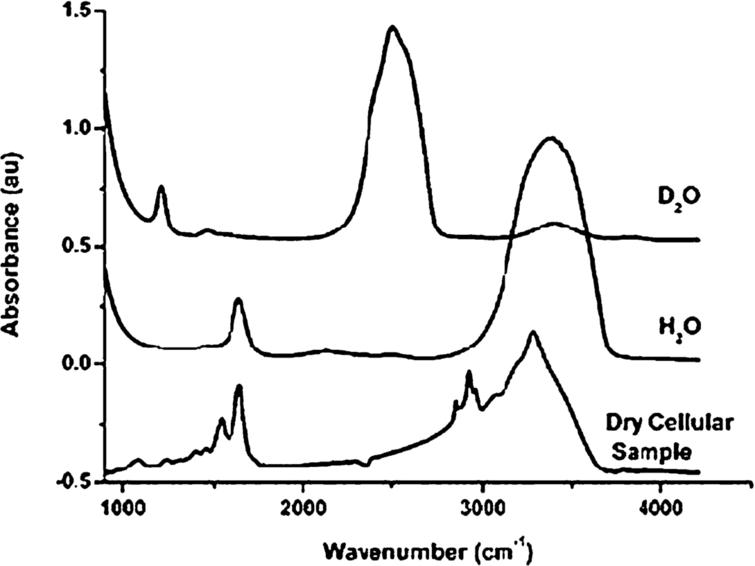 Absorption spectra of H2O and D2O compared with a typical cell spectrum. Comparison of the traces shows clearly that the bending mode of water around 1650 cm−1 overlaps with the Amide I absorption of cellular polypeptides in the same spectral region [this figure was originally published in [54]].