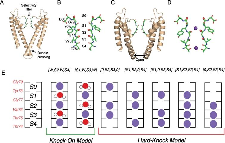 KcsA structure and ion binding configurations. (A) KcsA in the closed conformation (PDB 1K4C), where the intracellular gating helices form an inverted pyramid that occludes ion access to the filter. Only the two opposing subunits are shown for clarity. (B) Selectivity filter of KcsA with ion binding sites (S1-S4, extracellular to intracellular) formed by backbone carbonyls of the residues Thr75-Gly79. (C) Structure of the open conformation of KcsA (PDB 3F5W) where the helices splay open. (D) Structure of the selectivity filter in the constricted conformation (from PDB 1K4D). K+ ions are shown in purple. (E) Cartoon illustration of the two ion permeation models: the knock on model (two configurations on the left) and the hard-knock model (five configurations on the right). Waters are represented in red and K+ ions are represented in purple.
