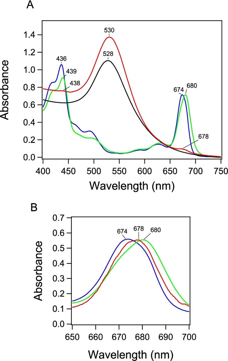 (A) Absorption spectrum of PSI-GNP-PSII conjugates (red line) in comparison with the spectra of Ni-NTA-GNP (black line), and free PSI (green line) and PSII (blue line) complexes. (B) Expanded view of the Chl Qy band of the PSI-GNP-PSII conjugates after baseline correction (red line) in comparison with the Qy bands of free PSI (green line) and PSII (blue line) complexes. The three spectra were normalized by the intensities of the Qy bands.