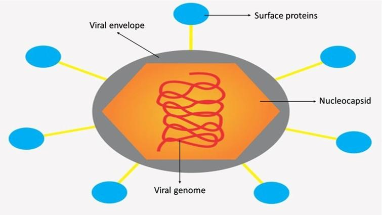 General structure of a flavivirus with its identified parts. For viruses such as Dengue, Zika, Chikungunya and Yellow Fever, the viral genome is a positive single-stranded RNA according to the Baltimore Class IV classification.