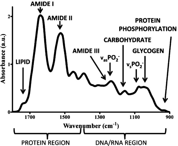 Example of a biological sample spectrum in the biofingerprint region of the mid infrared range. Reprinted (adapted) with permission from reference [17] (J.G. Kelly, et al., Biospectroscopy to metabolically profile biomolecular structure: a multistage approach linking computational analysis with biomarkers, Journal of Proteome Research 10 (2011), 1437–1448). Copyright (2011) American Chemical Society.