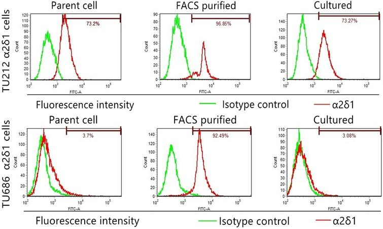 Differentiation properties of α2δ1+ TU212 and TU686 cells. Flow cytometry shows the percentage of α2δ1+ cells in TU212 and TU686 cells, FACS-purified α2δ1+ cells and purified α2δ1+ cells cultured in 10% serum-containing medium for 1 week (cultured).