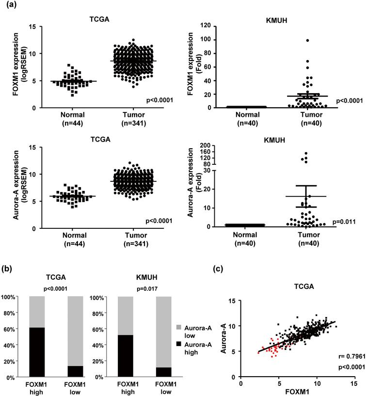 FOXM1 expression is positively correlated with Aurora-A expression in human HCC. (a) The expression of FOXM1 and Aurora-A in HCC and adjacent liver tissues by transcriptome sequencing from the TCGA dataset (Left). The expression levels of the FOXM1 and Aurora-A mRNAs were validated in 40 paired HCC from KMUH using RT-qPCR (Right). The horizontal lines depict the mean ± S.D. (b) The level of FOXM1 and Aurora-A in HCC tissues from the TCGA and KMUH datasets and the correlation between their expression levels was analyzed using Fisher's exact test (p< 0.001). (c) The relationship between FOXM1 and Aurora-A expression in HCC (black dot, n= 341) and adjacent liver tissues (red dot, n= 44) was analyzed using Pearson's correlation. RSEM, RNA-seq by Expectation Maximization.