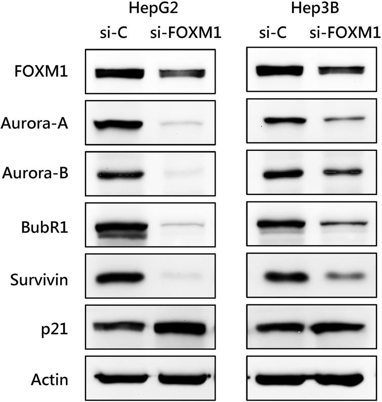 Effect of FOXM1 knockdown on the expression of cell cycle-regulating proteins in HCC cells. HepG2 and Hep3B cells were transfected with control siRNA or with FOXM1 siRNA. The expression of the indicated cell cycle-regulating proteins was analyzed by western blotting.