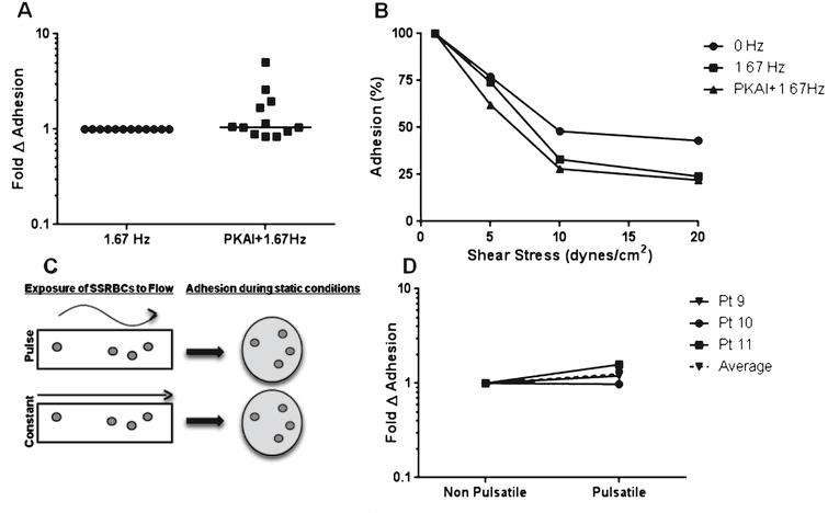 The effects of pulsatile flow on the intrinsic adhesive properties of SSRBCs. A) Adhesion of isolated SSRBCs pretreated with vehicle or 30nM PKA inhibitor for 30 minutes was measured at 1dyne/cm2 during pulsatile (1.67Hz) flow conditions. B) Avidity was assessed by exposing adherent SSRBCs to increasing shear conditions (5, 10 and 20 dynes/cm2) and measuring the number of adherent SSRBCs remaining. C) Experimental diagram. Isolated SSRBCs were exposed to either a pulse frequency of 1.67Hz or non-pulsatile (0Hz) flow conditions, then allowed to adhere to immobilized VCAM-1 during static conditions in a multi-well plate. Adherent cells were quantified manually. D) Exposure of isolated SSRBCs to pulsatile vs. non-pulsatile flow was assessed during static conditions.