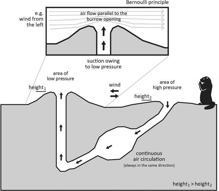 The principle of air circulation within a prairie dog burrow (applies to Cynomys ludovicianus). Illustration: Michael J. Paar according to Steven Vogel.