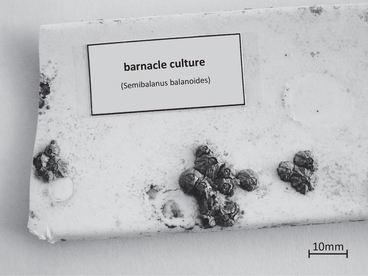 The modular growth structure of barnacle cultures (applies to Semibalanus balanoides).