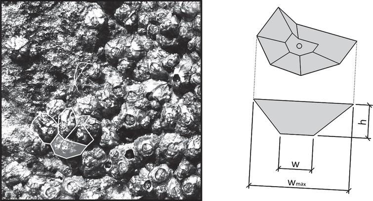 Geometric proportionalities of barnacle shell.
