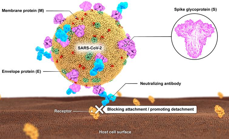 A schematic illustration of SARS-CoV-2 with its main surface antigens including spike (S), membrane (M) and envelope (E) proteins. Neutralizing antibodies block virus attachment to its receptor on cell surface.