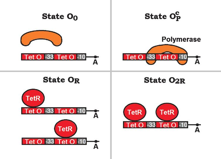 Graphic representation of the different  states O 0, OPc, O  R  and O 2R  assumed by the promoter P LtetO - 1 in presence of the  polymerase and the (dimeric) tetracycline repressor TetR. The transcriptional starting site is marked with the  letter A, the -10 and -33 hexamers are indicated by small grey rectangles, the polymerase is  represented by an orange kidney shaped figure, the tet operators are indicated by narrow red rectangles, and  the repressors TetR are represented by big red ovals.