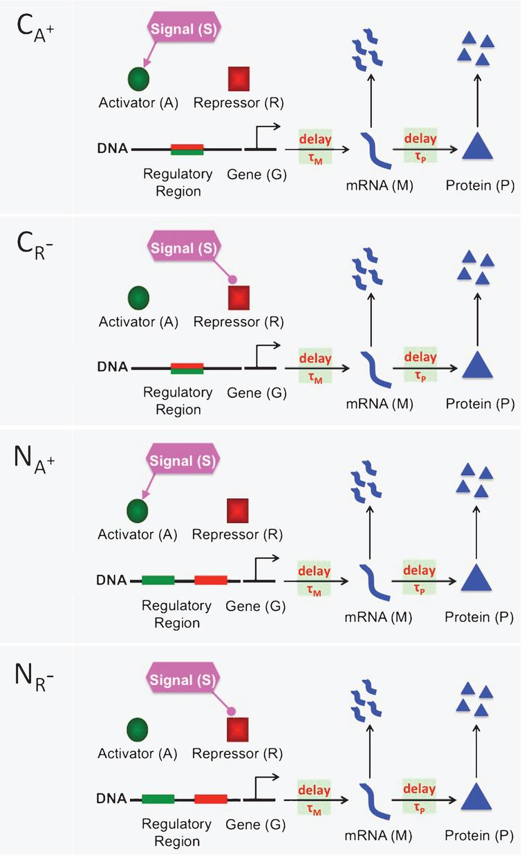 A cartoon showing four different activation mechanisms CA+, CR−, NA+ and NR−. In the competitive mechanisms (CA+ and CR−), the activator protein (green circle) and the repressor protein (red square) compete to bind to the same regulatory region(green-red rectangle) of DNA. In the noncompetitive mechanism (NA+ and NR−), there are two separate binding sites on the regulatory region, one is for the activator protein (green rectangle) and the other is for the repressor protein (red rectangle). In all figures, the lines coming out of the signal with rounded ends show a decrease in the activator and repressor abundance. Similarly, directed arrows represent an increase in the activator and repressor abundance. The horizontal arrows between gene (G) and mRNA (M) represent transcription process, which can be downregulated by the repressor protein and upregulated by the activator protein. The horizontal arrows between mRNA (M) and Protein (P) denote the translation of mRNA to protein. Finally, the vertical arrows represent degradation of mRNA and protein. Here, τM and τP are for the transcriptional and translational time delays, respectively.