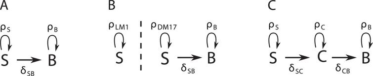 Diagrams of three possible dynamic models for our data. A: The SB model has no intermediary compartment. B: The S2B model has no intermediary compartment, but the self-renewing cells change proliferation rate in DM17. C: The SCB model has an intermediary compartment.