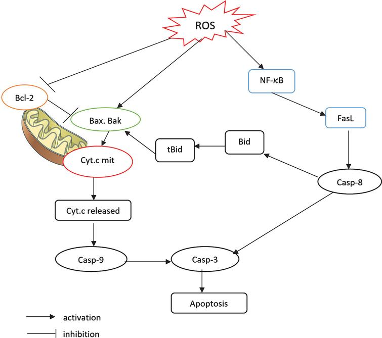 A schematic model of the apoptosis signaling pathways. 1) The mitochondrial pathway and 2) the FasL-dependent pathway mediated by NF-κB. Each pathway activates its own initiator caspase (caspase 8 and 9) which in turn will activate the executioner caspase 3.
