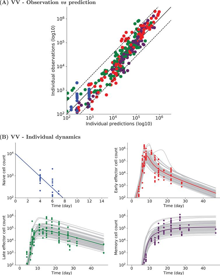 Experimental and simulated individual cell counts for VV data set1 (logarithmic scale). (A) Observed vs predicted values. For each CD8 T cell count experimental point, the prediction is obtained by simulating System(2). Naive (blue), early effector (red), late effector (green), and memory (purple) cell counts are depicted. Dashed lines represent the 90th percentile of the difference between observed and predicted values, and the solid black line is the curve y=x. (B) Naive (upper left, blue), early effector (upper right, red), late effector (lower left, green) and memory (lower right, purple) cell counts up to D47pi. Experimental measurements are represented by colored dots (same color code), simulated individual trajectories by grey lines, and the average population dynamics by a straight colored line (same color code).