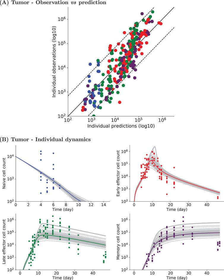 Experimental and simulated individual cell counts for Tumor data set1 (logarithmic scale). (A) Observed vs predicted values. For each CD8 T cell count experimental point, the prediction is obtained by simulating System(2). Naive (blue), early effector (red), late effector (green), and memory (purple) cell counts are depicted. Dashed lines represent the 90th percentile of the difference between observed and predicted values, and the solid black line is the curve y=x. (B) Naive (upper left, blue), early effector (upper right, red), late effector (lower left, green) and memory (lower right, purple) cell counts up to D47pi. Experimental measurements are represented by colored dots (same color code), simulated individual trajectories by grey lines, and the average population dynamics by a straight colored line (same color code).