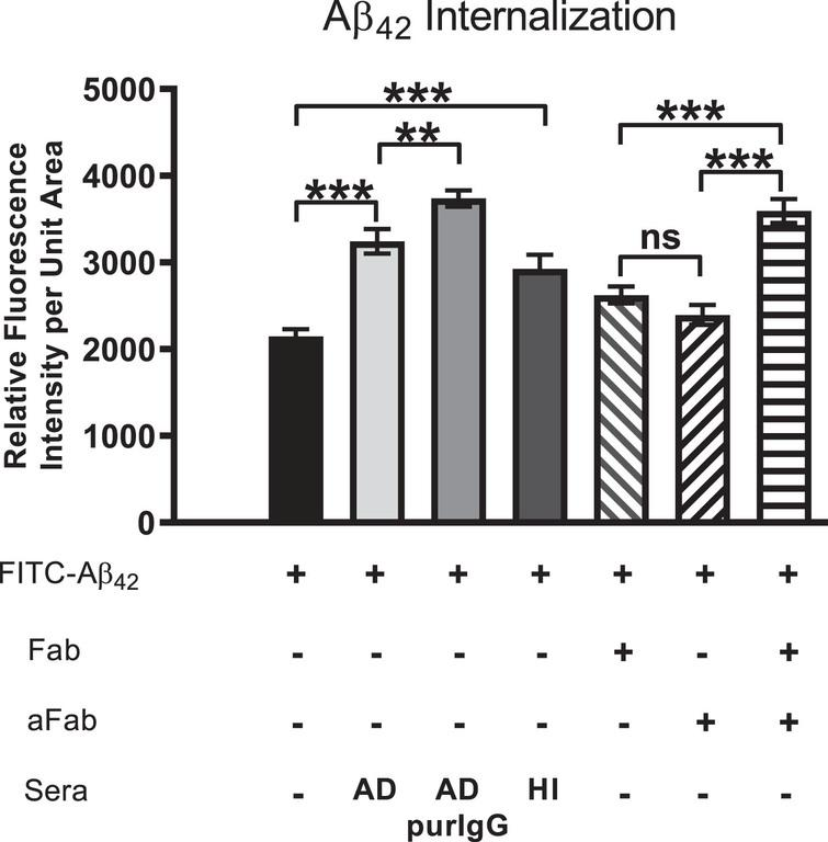 Aβ42 internalization is driven primarily by IgG cross-linking on neuronal surfaces. Cells were first treated with FITC-Aβ42 to establish a baseline level of Aβ42 internalization in the absence of other factors. Aβ42 was then co-administered with AD serum, purified IgG from AD sera, heat-inactivated (HI) AD sera (to disable binding of complement protein), monovalent F(ab) IgG fragments or monovalent F(ab) fragments co-treated with anti-F(ab) fragment secondary antibody (aFab). The latter was used to restore bivalency and thereby autoantibody cross-linking. In cells treated with monovalent F(ab) fragments (incapable of cross-linking) in conjunction with FITC-Aβ42, Aβ42 internalization was reduced compared to those treated with AD serum, purified IgG from AD serum or heat-inactivated serum. However, when media containing monovalent F(ab) fragments was supplemented with antibodies directed against F(ab) fragments to restore cross-linking abilities, the Aβ42 internalization rate was increased to a level comparable to that of purified IgG from AD serum. Fab, monovalent F(ab) fragment; aFab, anti-F(ab) fragment secondary antibody; AD, Alzheimer's disease sera; AD purIgG, IgG purified from AD sera; HI, heat-inactivated; ns, non-significant; **p < 0.01; ***p < 0.001.