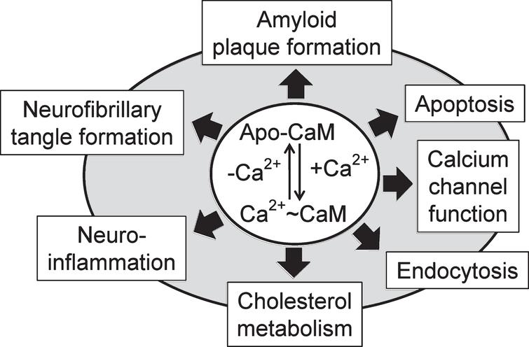 Calcium-bound calmodulin (CaM) and its calcium-free form (Apo-CaM) are involved to many central events linked to Alzheimer's disease as discussed in this review.