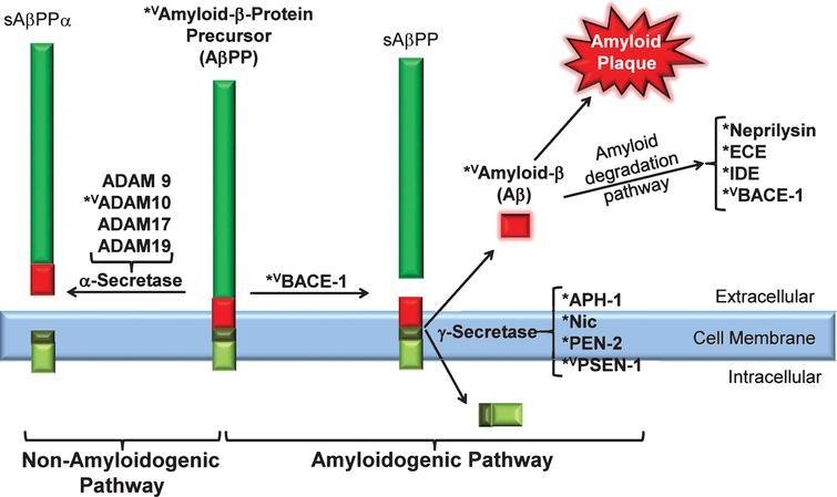 Calmodulin binding proteins linked to the amyloidogenenic and non-amyloidogenic pathways. amyloid-β precursor protein (AβPP); anterior pharynx defective 1 (APH-1); β site-amyloid converting enzyme 1 or β-secretase (BACE1); A Disintegrin And Metalloproteinase Family (ADAM 9,10,17, 19); endothelin-converting enzyme (ECE); insulin-degrading enzyme (IDE); nicastrin (Nic); presenilin enhancer protein 2 (PEN-2); and presenilin-1 (PSN-1); superscripts: *putative CaMBD detected; vCaMBD experimentally verified.