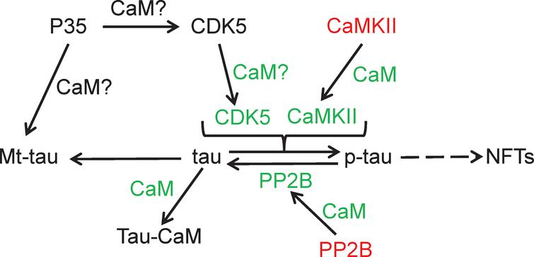 Calmodulin binding proteins linked to tau phosphorylation. Calmodulin-dependent kinase II (CaMKII); cyclin-dependent kinase 5 (CDK5); calmodulin (CaM); neurofibrillary tangles (NFTs); CDK5 activator (P35); protein phosphatase 2B (PP2B); colors: green, stimulated/activated; red, inhibited.