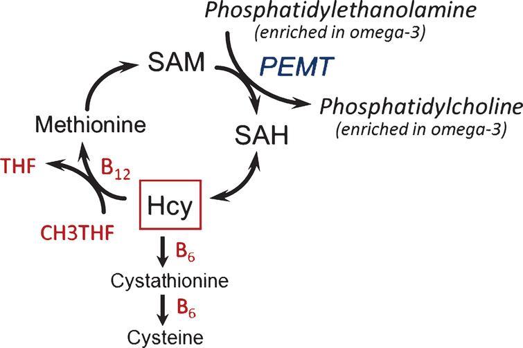 Metabolic interactions in the homocysteine methylation cycle with omega-3 fatty acids. Hcy, homocysteine; PEMT, phosphatidylethanolamine N-methyl transferase; SAH, S-adenosylhomocysteine; SAM, S-adenosylmethionine; THF, tetrahydrofolate.