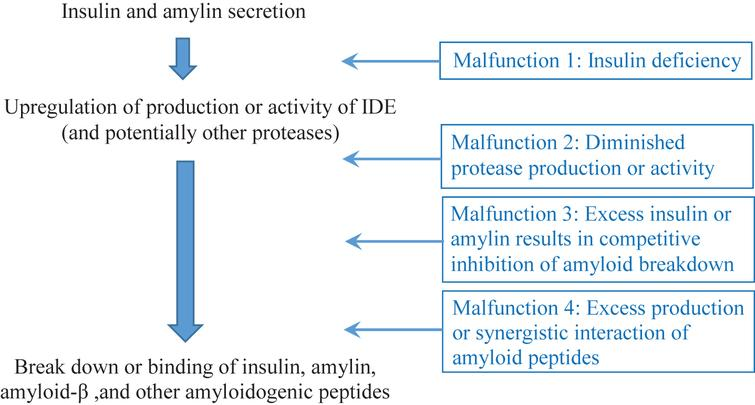 The insulin-protease-amyloid degradation pathway and its potential malfunctions.