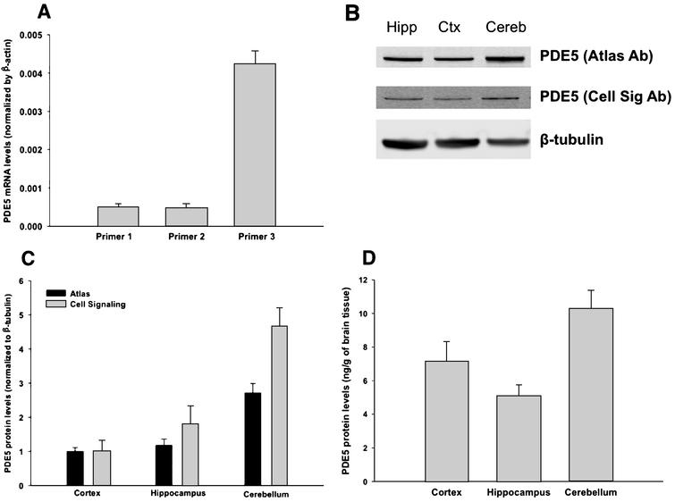 PDE5 exists in human brain tissue. A) PDE5 mRNA was detected by qPCR in human cortex using 3 different primers (see Methods), against the 3'UTR region (each primer shows the average for 3 samples; error bars are standard error). Values are normalized against β-actin. B) PDE5 protein was detected in human cortex, hippocampus, and cerebellum by western blot, using two different antibodies to PDE5 (Cell Signaling and Atlas, see methods). All values are normalized by β-tubulin. Then, for each antibody, the values for hippocampus and cerebellum are normalized to cortex. See Supplementary Information for full, uncut blots. C) Values from B are quantified (3 samples in each group – each sample is from a different human subject; error bars are standard error). We evaluated the results using a two-tailed t-test. For both antibodies, there is no statistical difference between cortex and hippocampus (p-value 0.2 for Atlas, 0.09 for Cell Signaling). In contrast, both antibodies show a significant difference between cortex and cerebellum (p-value 0.0006 for Atlas, 0.0014 for Cell Signaling) and between hippocampus and cerebellum (p-value 0.004 for Atlas, 0.014 for Cell Signaling). D) The amount of PDE5 in brain tissue was quantified by ELISA. PDE5 protein was found in the cortex, hippocampus, and cerebellum at a concentration of 7.15, 5.08, and 10.29 ng/g of brain tissue, respectively (3 samples in each group; error bars are standard error). We evaluated the results using a two-tailed t-test. Similarly to the western blot data quantified in panel C, the ELISA data shows no statistical difference between cortex and hippocampus (p-value 0.08), whereas there is a significant difference between cortex and cerebellum (p-value 0.03) as well as between hippocampus and cerebellum (p-value 0.01).