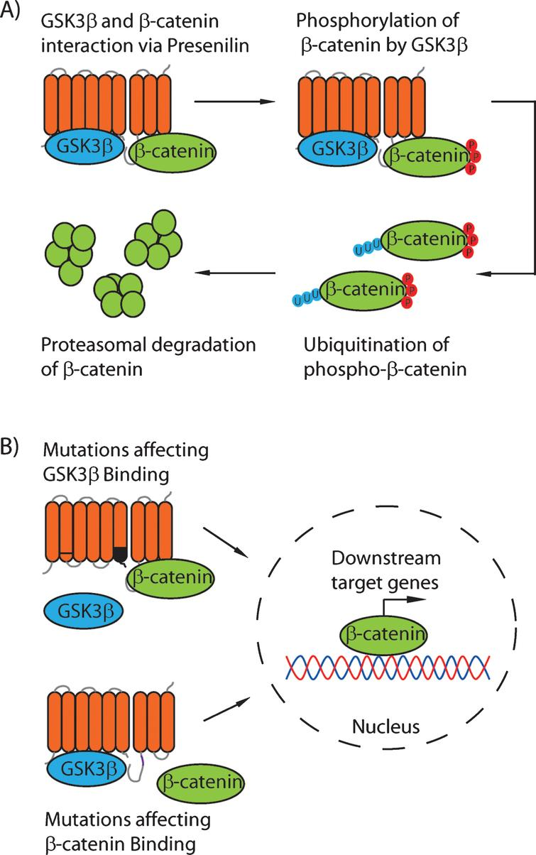 A proposed model for the scaffolding role of the presenilin proteins. Under normal conditions (A), GSK3β binds to the Psen1 N-terminal fragment in the cytoplasmic loop (residues 250–290) and β-catenin binds to the C-terminal fragment (residues 330–360). This binding results in the phosphorylation of β-catenin at S33/S37/T41 by GSK3β, and therefore increased turnover of β-catenin. B) Mutations in Psen1 affecting binding of either GSK3β or β-catenin reduce the phosphorylation, and therefore ubiquitination, of β-catenin, leading to increased levels of nuclear β-catenin and enhanced β-catenin-dependent signaling.
