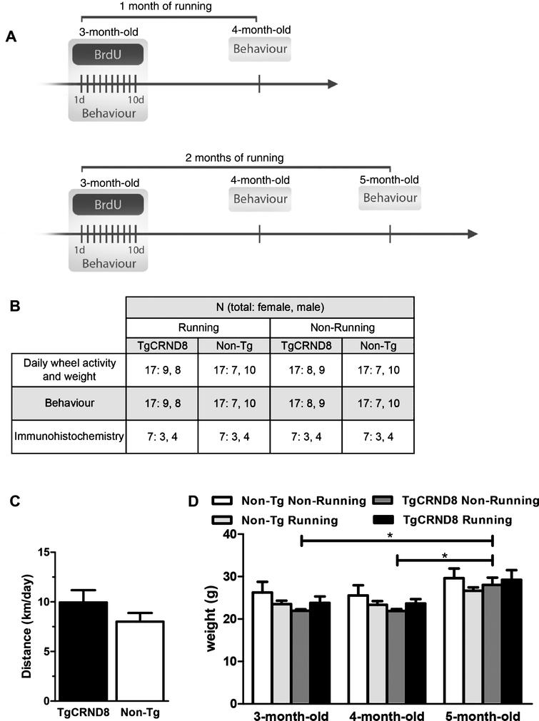 Experimental paradigm. A) Timeline of the study. At 3 months of age, mice were randomly assigned to either running or non-running groups. Mice were injected with 50 mg/kg BrdU for the first 10 days of the study. Behavioral tests were performed at 3, 4, and 5 months of age in independent cohorts of animals. 4- and 5-month-old mice ran for 1 and 2 months, respectively. B) Table illustrating the number of animals, females and males, in each cohort. C) Average distance ran by TgCRND8 mice (black bar) and non-Tg littermates (white bar). D) Weight of animals at 3, 4, and 5 months of age. Statistics: (C) Student t-test, (D) 2-way ANOVA. Significance: *p < 0.05. Data represent the mean±SEM. N = 17 per group.