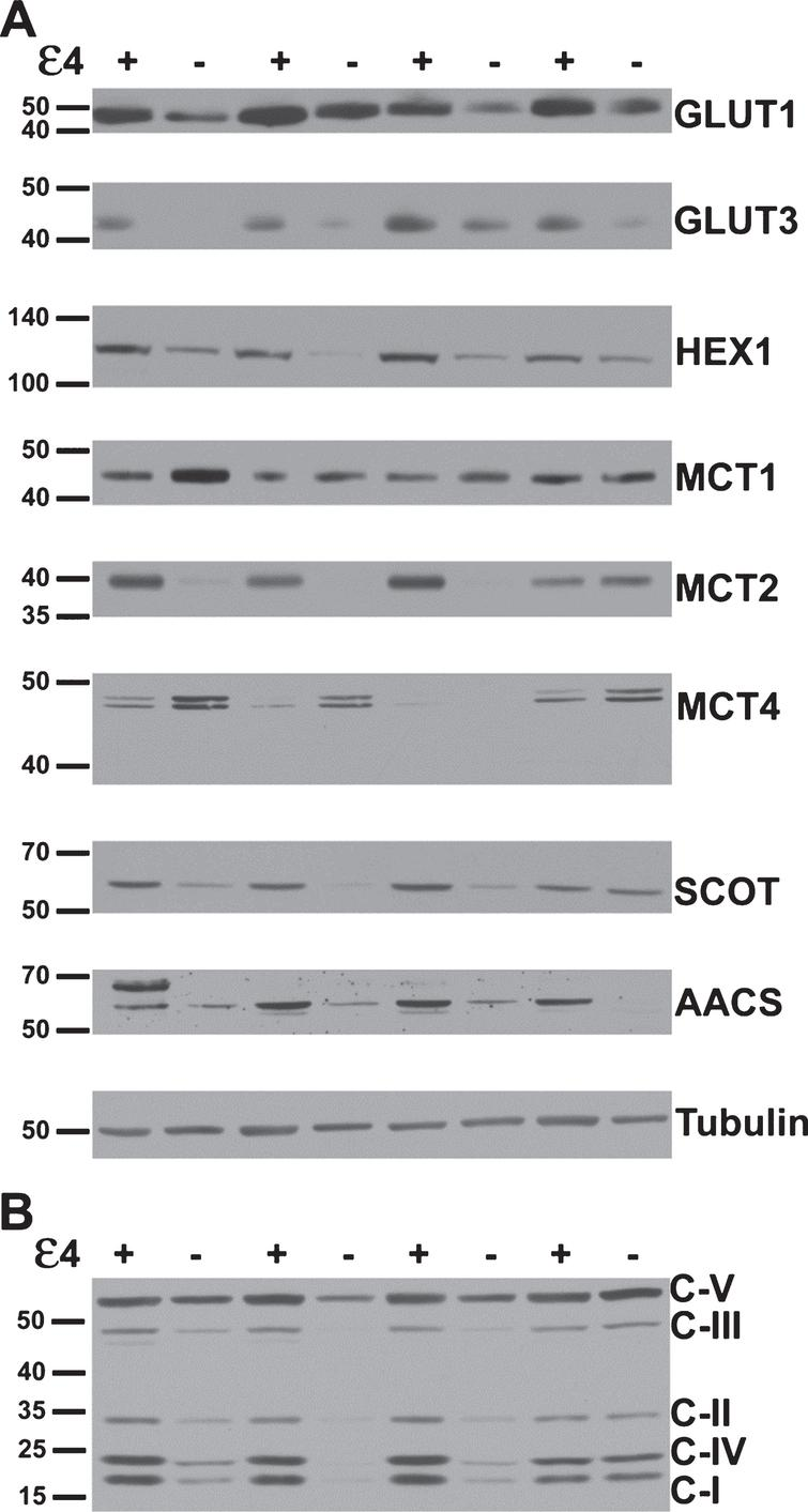 Several key metabolic proteins show altered expression in APOE4 carriers. A) Representative western blots of proteins underlying brain glucose and ketone metabolism. Each protein target was analyzed with a separate probe; however, GLUT1, GLUT3, MCT1, and MCT4 results shown here align to the same subjects. Similarly, HEX1, MCT2, SCOT, and AACS shown here align to the same second set of subjects. Analysis proceeded on three such sets in total for each target (N=24), in triplicate. B) A representative western blot resulting from application of the antibody cocktail against mitochondrial oxidative phosphorylation protein subunits. Analysis proceeded on three such sets (N=24), in triplicate.
