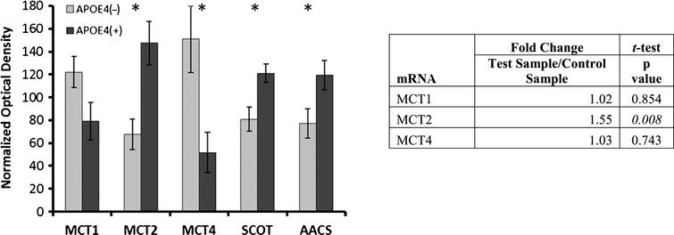 Alterations in ketone metabolism in APOE4 carriers. Western blot results demonstrating significantly altered protein levels for ketone metabolism in APOE4 carriers (normalized mean±SEM). MCT2, SCOT, and AACS were significantly increased, and MCT4 was significantly decreased. MCT2 mRNA transcript increases were demonstrated via qPCR. MCT1, MCT2, MCT 4, monocarboxylate transporters; SCOT, succinyl-CoA:3-ketoacid CoA transferase; AACS, acetoacetyl CoA synthetase; APOE4(+), carriers; APOE4(–), non-carriers. *p<0.040 (Benjamini-Hochberg adjusted significance level), 2-tailed Student's t-test.