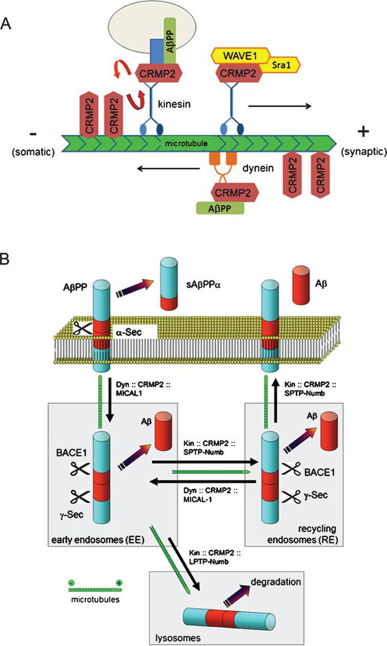 CRMP2 is a MAP that also interacts with cargo adaptor proteins involved with receptor endocytosis and intracellular vesicle trafficking. Panel A is a conceptual diagram illustrating known interactions of CRMP2 with microtubules, and also with kinesin and dynein-associated adaptor proteins. In this model, CRMP2 dynamically equilibrates among its binding partners in a fashion that is likely dependent upon CRMP2 isoform and post-translational modifications. Panel B illustrates AβPP trafficking in a manner that highlights points at which CRMP2 and its binding partners, Numb and MICAL-L1, are involved with intracellular vesicle movements. It is speculated that CRMP2 becomes functionally depleted in AD, by a combination of hyperphosphorylation; sequestration into nascent neurofibrillary tangles; and by oxidative post-translational modifications. This would impede multiple CRMP2 dependent processes including AβPP trafficking through early and recycling endosomal compartments. Additionally, the author and his colleagues find that shRNA suppression of CRMP2 impedes autophagy flux [50], possibly suggesting a role for CRMP2 in the efficient traffic of LC3-II containing autophagic vesicles. Thus functional depletion of CRMP2 could contribute to multiple aspects of AD neuropathology.
