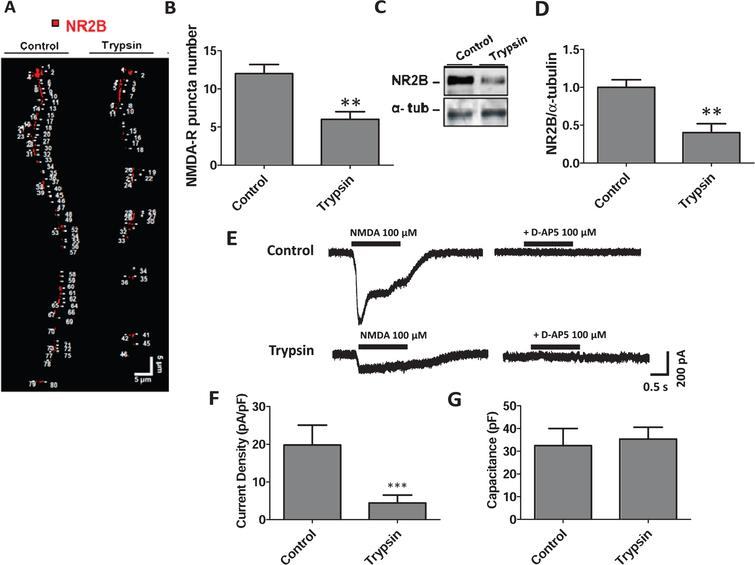 Treatment with trypsin decreased NMDARs in hippocampal neurons. A) Microphotograph shows NMDAR (NR2B, red) in neuronal primary processes of cultures treated without or with trypsin (0.00025%, 30min). B) Quantification of NMDAR puncta number shows a decrease in trypsin-treated neurons (0.00025%, 30min) versus control (not treated). C) Western blot showing the levels of NR2B in control and trypsin-treated neurons (0.00025%, 30min). α-tubulin was used as a loading control. D) Quantification of NR2B levels from the western blot in control and treated neurons. E) Representative evoked currents using NMDA (100 μM) and NMDA plus D-AP5 (100 μM) in control neurons and pre-treatment with trypsin 0.00025% for 30min. Black bar represents the time of perfusion. F) Plot of current density (pA/pF) in control and trypsin pre-treated neurons showing the current decrease in trypsin-treated neurons. G) The graph shows the capacitance (pF) in control and trypsin-treated cells. **p<0.01; ***p<0.001.