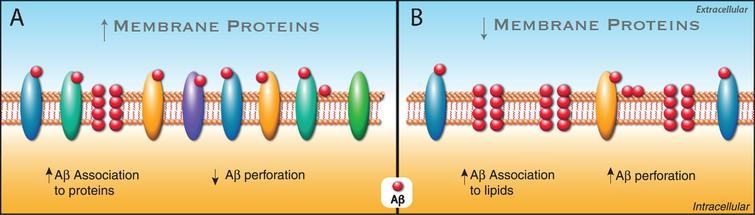 """""""Forest effect"""" of membrane proteins involved in Aβ association and membrane perforation. A) The increase in membrane protein levels, such as NMDAR, augments the association of Aβ (red circles) to these proteins, decreasing the association of Aβ to membrane lipids and therefore the perforation induced by Aβ. B) The decrease in membrane proteins, i.e., NMDAR, results in an increase in Aβ association to the lipids of the plasma membrane, thus increasing the perforation induced by Aβ."""