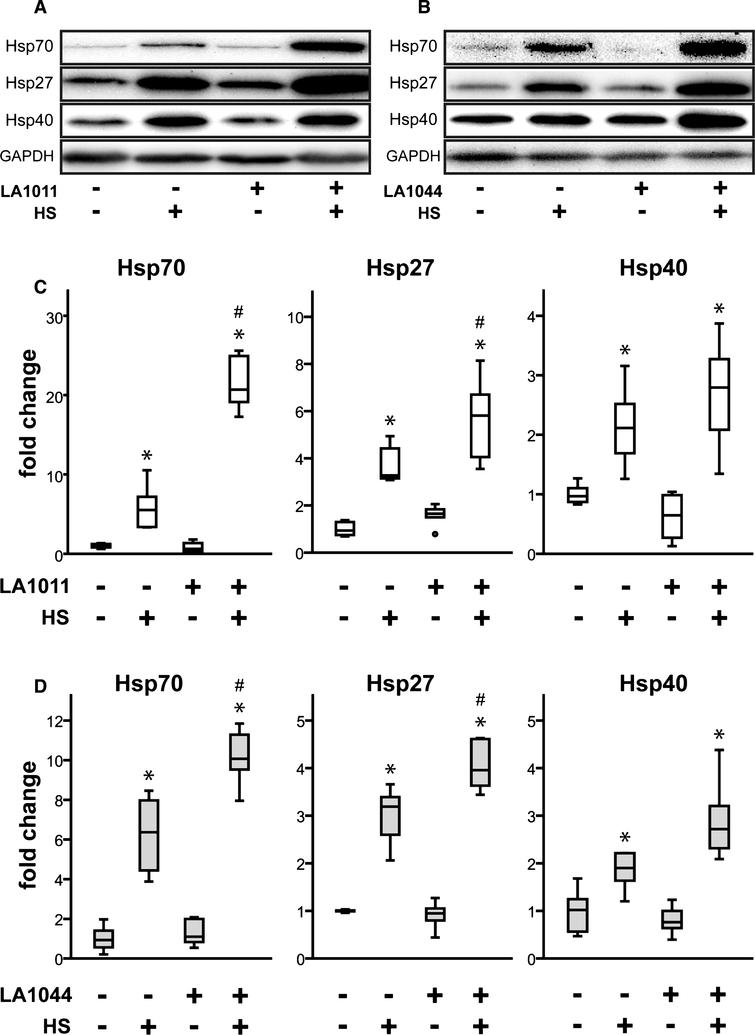 Effect of heat and LA1011 or LA1044 treatment on Hsp70, Hsp27 and Hsp40 levels in SH-SY5Y human neuroblastoma cell line measured by western blotting (A, B) and quantitative densitometric analysis (C, D). Cells were untreated or treated with LA1011 (5μM) or LA1044 (40μM) at 37°C or 42°C. Box plots represent quantitative data normalized to GAPDH. All data represent the mean±SD (n = 6) and p < 0.05 was considered statistically significant. HS = heat shock at 42°C, 1 h. *p < 0.05, when data are compared to LA compound (–), HS (–) sample. #p < 0.05, when data are compared to LA compound (–), HS (+) sample. One way ANOVA followed by a Tukey post hoc test was used for statistical comparisons.