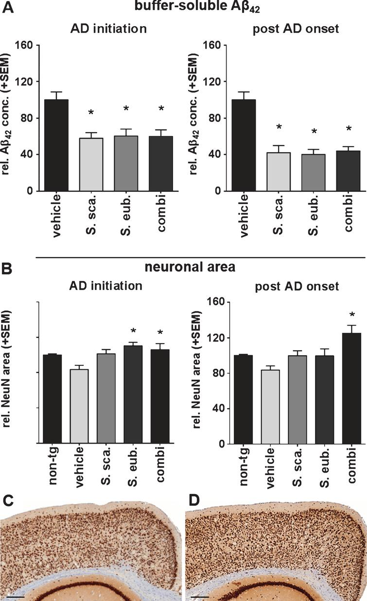 Sideritis spp. potently reduce neurotoxic brain Aβ42 levels and protect from neuronal loss. A) S. scardica, S. euboea, and the extract combination reduce buffer-soluble Aβ42 significantly in both treatment strategies. B) Quantification of neuronal area indicated significant neuron loss in vehicle-treated APP-tg mice in comparison to vehicle-treated, non-transgenic littermates. A significantly increased neuronal area of Sideritis spp.-treated APP-tg mice compared to vehicle treated APP-tg mice indicates neuroprotective effects of the Sideritis spp. extract combination in both paradigms (mean + SEM, *p≤0.05). C, D) Microphotographs of NeuN stained brain slices of APP-tg mice after (C) vehicle treatment and (D) post-AD-onset therapy with Sideritis spp. extract combination (scale bars: 50μm).