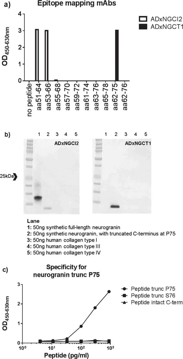 a) Epitope mapping of both mAbs ADxNGCI2 and ADxNGCT1 was performed with overlapping synthetic peptides, ranging from R51 to D78. b) Specificity of the mAbs ADxNGCI2 and ADxNGCT1 was evaluated by western blot analysis where both synthetic full-length neurogranin, as well as a synthetic neurogranin peptide that is truncated at P75, were included in the gel electrophoresis, next to human collagen type I, III, and IV. ADxNGCI2 positively stained both synthetic peptides, whereas ADxNGCT1 only labeled the truncated form. None of the mAbs detected the collagen proteins. c) To confirm the specificity of the prototype ELISA towards neurogranin species truncated at P75, different concentrations were analyzed of several synthetic neurogranin peptides that differ in their C-terminus, i.e., intact (Peptide intact C-term) or either truncated at P75 (Peptide trunc P75) or at S76 (Peptide trunc S76).