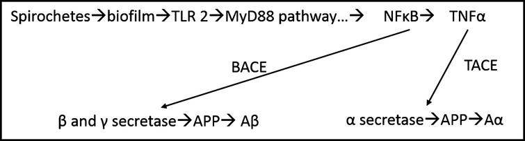 Possible pathway for development of Aβ. Schematic for production of Aβ and Aα via MyD88 pathway. From Allen et al. [8].