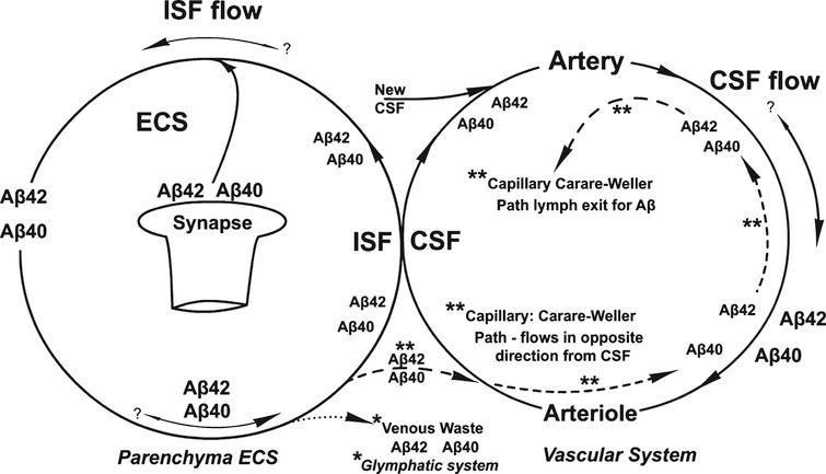 An overview of the separate flow patterns of the ISF and CSF and their intersection in the absence of shear-induced Aβ aggregation processes. Shown are the two different proposed pathways for the recycling of the two Aβ isoforms, the proposed glymphatic (*) and the Carare-Weller perivascular (**) systems. No shear-processes are shown in this diagram.