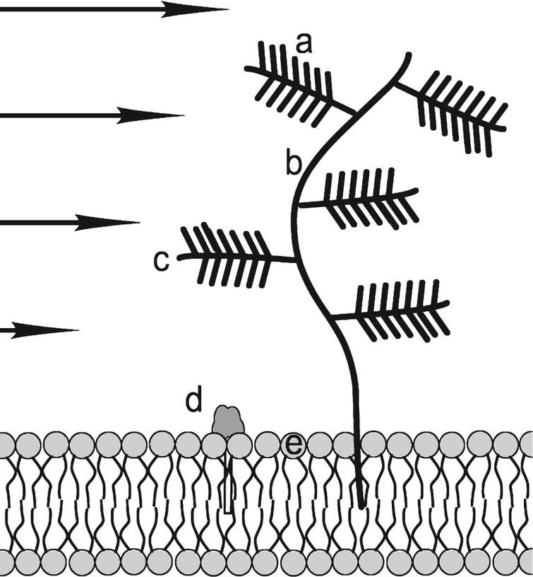 """Heparan sulfate proteoglycan (HSPG) consisting of: a) negatively charged sulfate compound """"needles""""; b) main branch hyaluronan; c) protein side branch; d) polar head of GM1 ganglioside that is reported to bind to amyloid oligomers: e) polar membrane phospholipid head. Negatively charged HSPG molecules attract positively charged Aβ side chains, if they are not internally bound. It is proposed that in sheared Aβ* they are HSPG accessible. GM1 molecules are rich in hydrophilic –OH groups that are attractive to Aβ and Aβ* groups. In addition, HSPG """"trees"""" interfere with ISF flow and presents a flow obstacle. Other molecular flow obstructions such as laminin and collagen are not shown. Arrows indicate differential shear flow near the membrane. Figure not to scale."""