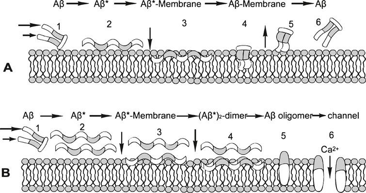 Proposed Aβ /Aβ*/membrane cycles with low (A) and high (B) Aβ concentrations. At low Aβ concentration, the sheared Aβ (A1) molecule forms Aβ* (A2) is attracted to and adsorbed by the membrane (A3), alters its conformation to a low energy state Aβ (A4) and is released from the membrane (A5) in (A6, reoriented to A1), keeping the steady state Aβ concentration low. At high Aβ concentrations (B), this A cycle is interrupted by the formation of an Aβ* dimer (B3, B4), which initiates the formation of stable oligomers within the membrane (B5). This process can be toxic, for example, by forming an open membrane flow path that allows free passage to ions such as Ca2+ (B6). White segments of the Aβ* molecule are hydrophobic and gray segments are hydrophilic. The same scheme is applied to the membrane, hydrophobic tails of which attract corresponding Aβ segments, and similarly with hydrophilic segments.