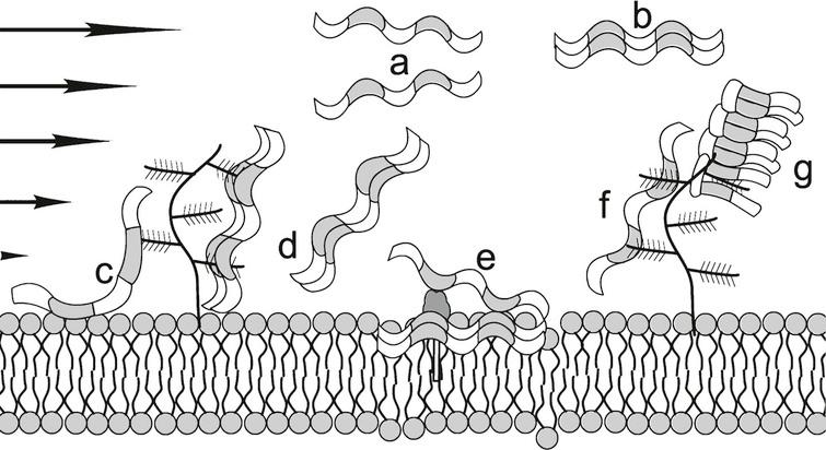 Flow impediments reacting with Aβ*. (a) Sheared Aβ* molecules that are attracted to one another to form an Aβ dimer (b) without interacting with the wall or flow impediments; (c) single Aβ* attracted to both the membrane and the proteoglycan; (d) Aβ* dimer that could either be released or form the nucleus for a higher order oligomer that remains attached to this location; (e) GM1, a ganglioside that has a hydrophilic bulky exterior group and a hydrophobic anchor and has immobilized a membrane-embedded Aβ dimer providing a nucleus for oligomer formation in this location; (f) a single Aβ* locked on one proteoglycan that might then convert to a hairpin conformation that is shown in (g) as a focal point for the formation of a protofibril. This latter process could be similar to that proposed by Metzner et al., for the downstream formation of fibrils in their experiments with commercial polymers (Fig. 4 in ref. [19]). HSPG not to scale.