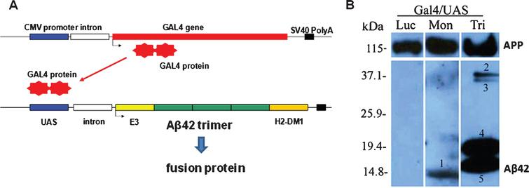 Schematic representation of the plasmid system (Gal4 activator, UAS/DNA Aβ42 trimer responder) and analysis of Aβ42 expression in mouse ear after gene gun transfection with Aβ42 monomer and Aβ42 trimer. A) Gal4 protein encoded by the activator plasmid binds as a homodimer to UAS sites present upstream of the promoter on the responder plasmid. Gal4 binding drives transcription of the Aβ42 trimer sequence, a peptide leader sequence, and an endosomal targeting sequence. B) Protein lysates from mouse ear were separated on 4–20% SDS PAGE and probed with an anti-human Aβ42 antibody. UAS-monomer transfection (Mon) in mouse ear resulted in a unique band (1), UAS-timer (Tri) transfection resulted in doublets at 19 kDa (2 + 3), and further dimerized bands 40 kDa (4 + 5), respectively. Control DNA (Gal4/UAS-Luc) mouse ear lysates showed no protein bands detectable with the Aβ42 antibody (Luc). (Modified and with permission from Vaccine, Qu et al., 2010 [14]).