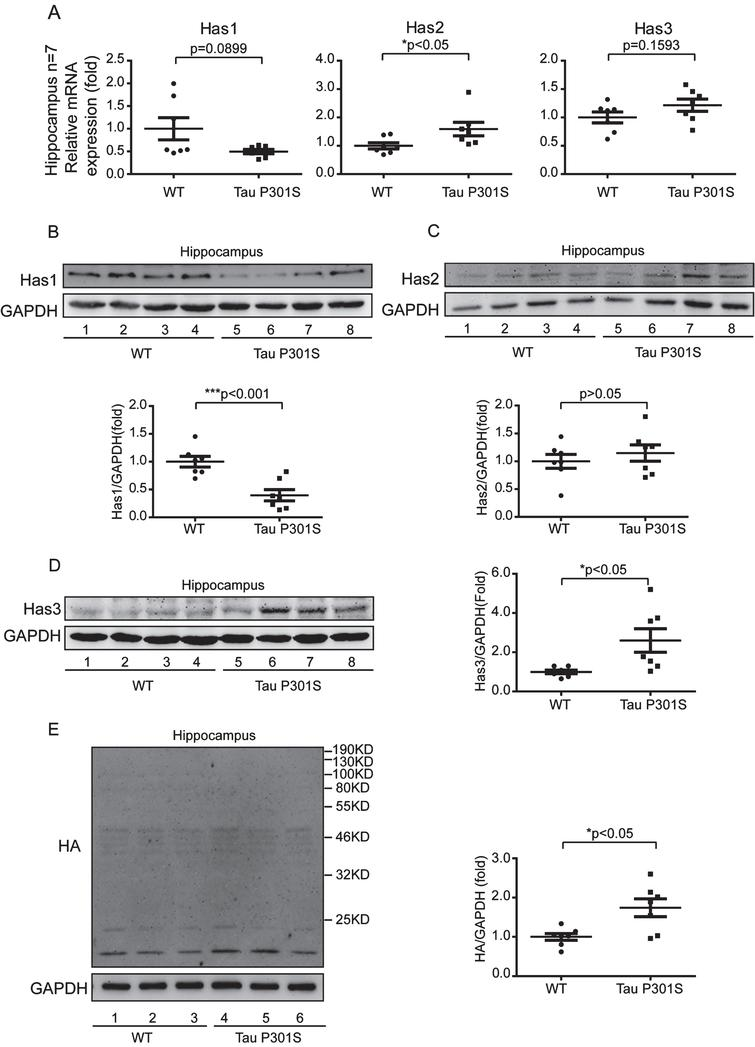 Tau pathology promotes the production of short chain HA (<200 kDa) through regulating of HASs expression in hippocampus. A) Quantitative real-time PCR data showing the mRNA expression levels of Has1, Has2, and Has3 in the hippocampus of the TauP301S Tg mice and control mice (10-month-old). B-D) TauP301S inhibits the expression of Has1 and promotes Has3 expression in the hippocampus of TauP301S Tg mice. B) Immunoblot images (upper panel) and quantifications (lower panel) demonstrating that Has1 is decreased in hippocampus of the TauP301S Tg mice. C) Immunoblot images (upper panel) and quantifications (lower panel) illustrating that Has2 is not altered in the hippocampus of the TauP301S Tg mice. In contrast, the protein level of Has3 (D, left and right panels) is increased in the hippocampus of the TauP301S Tg mice. E) Immunoblot images (left panel) and quantifications (right panel) demonstrating that short chain HA (<200 kDa) is increased in the hippocampus of TauP301S Tg mice (Tau P301S). The data are presented as relative fold changes from the normal controls (WT). Data are represented as means±se.; n=7 mice per group. *p<0.05; ***p<0.001. The p values were calculated using unpaired t-tests (A, middle and left panel; B, lower panel; C, lower panel; E, right panel) or unpaired t-tests with Welch's corrections (A, left panel; D, right panel).