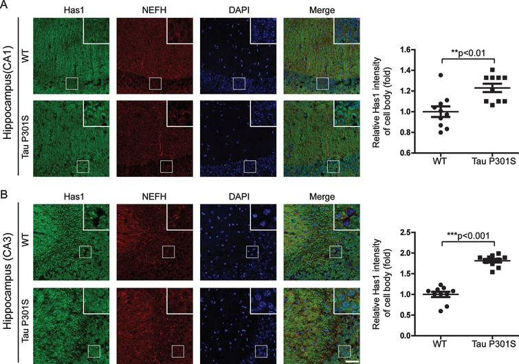 TauP301S promotes the accumulation of Has1 in cell body in 3-wks-old TauP301S Tg mice. Immunofluorescence images (A-B, left panels) and quantifications (A-B, right panels) showing the distribution of Has1 in CA1 (B) and CA3 (C) of 3-week-old TauP301S Tg mice (Tau P301S) and control wild-type mice (WT). Data are represented as means±se.; n=10 cell bodies per group; the immunofluorescence intensity of Has1 in the cell body was normalized with the intensity of stratum radiatum regions (CA1) and mossy fibers regions (CA3). **p<0.01; ***p<0.001. The p values were calculated using unpaired t-tests. Scale bar=50μm.