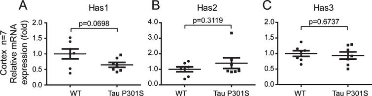 The expression of TauP301S did not affect the expressions of the HAS mRNAs in the cortex (10-month-old). Quantitative real-time PCR data showing the mRNA expression levels of Has1 (A), Has2 (B), and Has3 (C) in the cortex of the TauP301S Tg mice and control mice. The data are provided as the relative fold changes from the normal control. Data are represented as means±se.; n=7 mice per group. The p values were calculated using unpaired t-tests (A-C).