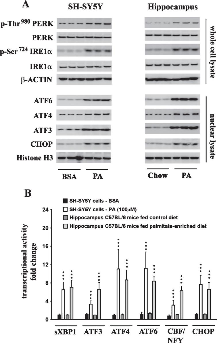 Exogenous palmitate treatment and a palmitate-enriched diet evoke ER stress in human neuroblastoma SH-SY5Y cells and the mouse hippocampus, respectively. A) Representative western blots show that palmitate treatment (100 μM for 24 h) of SH-SY5Y-APPSwe cells and feeding C57BL/6J wild-type mice a palmitate-enriched diet for three months, results in the activation of the three arms of ER stress signaling - IRE1α, PERK, and ATF6 pathway as assessed by an increase in the phosphorylation of IRE1α and PERK as well as the augmentation in the nuclear translocation of ATF3, ATF4, ATF6, and CHOP. B) Palmitate treatment (100 μM for 24 h) of SH-SY5Y-APPSwe cells and feeding C57BL/6J wild-type mice a palmitate-enriched diet for three months, also increases the transcriptional activities of the six transcription factors measured in the hippocampus. Data is expressed as Mean±S.D and includes determination made in three (n = 3) separate cell culture experiments and six (n = 6) different animals from each group. ***p < 0.001 versus BSA-treated control cells or C57BL/6J wild-type mice fed a control chow diet. PA, palmitic acid.