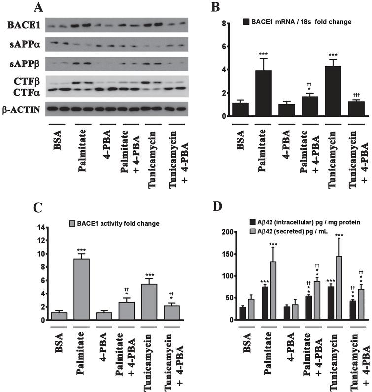 Palmitate induces BACE1 expression and subsequent Aβ genesis by inducing ER stress. A) Representative western blots show that pretreatment (for 2 h) of the human neuroblastoma cells with the molecular chaperone 4-PBA significantly precludes the palmitate-induced increase in BACE1 protein levels accompanied by a decrease in the amyloidogenic processing of AβPP as evidenced by a decrease in the palmitate-induced increase in sAβPPβ and CTFβ levels concomitant with an increase in the palmitate-induced decrease in sAβPPα and CTFα levels in the whole cell homogenates from SH-SY5Y-APPSwe cells. B, C) Pretreatment with 4-PBA attenuates the palmitate-induced increase in BACE1 mRNA expression (B) and BACE1 activity (C) in SH-SY5Y-APPSwe cells. D) ELISA immunoassays show that pretreatment with 4-PBA significantly attenuates the exogenous palmitate treatment-induced increase in the levels of the intracellular Aβ1 - 42 species in the whole cell lysates and secreted Aβ1 - 42 species in the conditioned media, from SH-SY5Y-APPSwe cells. Pretreatment (for 2 h) with the molecular chaperone 4-PBA also significantly precludes the Tunicamycin-induced increase in the following - BACE1 protein levels (A), BACE1 mRNA expression (B) and BACE1 activity (C), and intracellular as well as secreted Aβ1 - 42 species (D), in SH-SY5Y-APPSwe cells. Data is expressed as Mean±S.D and includes determination made in four (n = 4) separate cell culture experiments. *p < 0.05, **p < 0.01, ***p < 0.001 versus BSA-treated cells; ††p < 0.01, †††p < 0.001, versus palmitate-treated cells or Tunicamycin-treated cells.