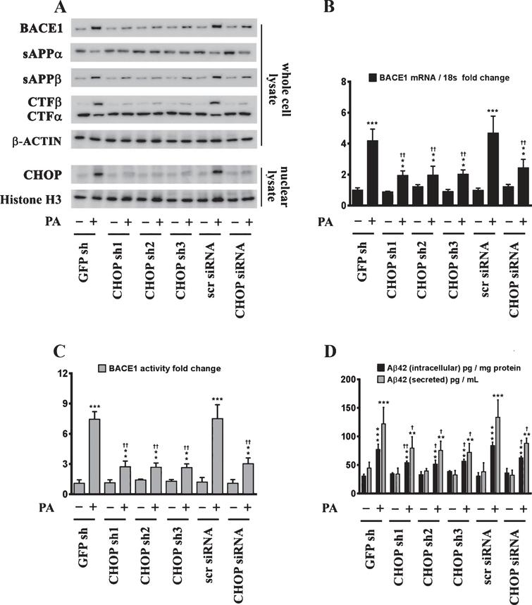 CHOP mediates the palmitate-induced increase in BACE1 expression and subsequent Aβ genesis. A) Representative western blots show that knocking-down CHOP expression using a RNAi approach significantly attenuates the palmitate-induced increase in BACE1 protein levels accompanied by a decrease in the amyloidogenic processing of AβPP as evidenced by a decrease in the palmitate-induced increase in sAβPPβ and CTFβ levels concomitant with an increase in the palmitate-induced decrease in sAβPPα and CTFα levels in the whole cell homogenates from SH-SY5Y-APPSwe cells. B, C) Knocking-down CHOP expression attenuates the palmitate-induced increase in BACE1 mRNA expression (B) and BACE1 activity (C) in SH-SY5Y-APPSwe cells. D) ELISA immunoassays show that knocking-down CHOP expression significantly mitigates the exogenous palmitate treatment-induced increase in the levels of the intracellular Aβ1 - 42 species in the whole cell lysates and secreted Aβ1 - 42 species in the conditioned media, from SH-SY5Y-APPSwe cells. Data is expressed as Mean±S.D and includes determination made in four (n = 4) separate cell culture experiments. **p < 0.01, ***p < 0.001 versus BSA-treated GFP knock-down cells or BSA-treated scrambled siRNA transfected cells; †p < 0.05, ††p < 0.01, versus palmitate-treated GFP knock-down cells or palmitate-treated scrambled siRNA transfected cells. PA, palmitic acid.